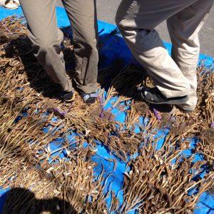 乾燥した種を一度踏んづけて脱粒しやすくします