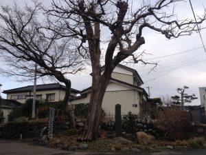 庄内柿の原木